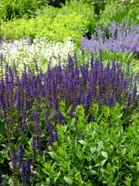 salvias blue white mottisfont