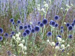 silver blue echinops