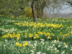 sissinghurst daffodils