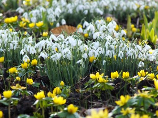 snowdrops winter aconites