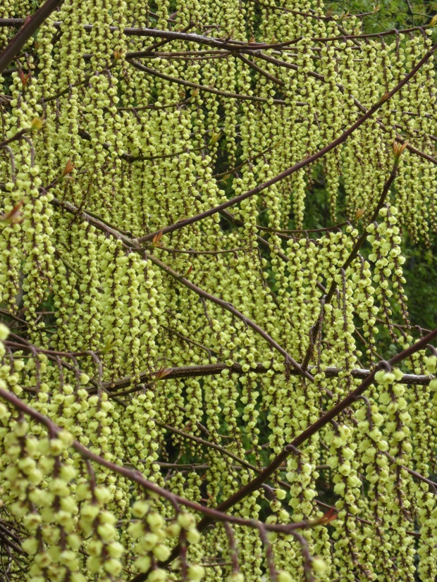 stachyurus chinensis yellow rain