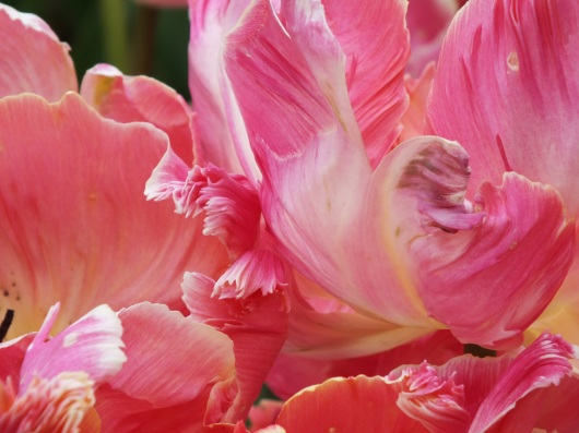 tulip pink scrolled