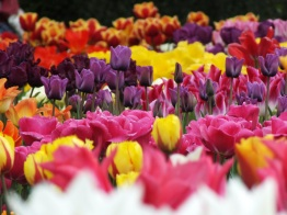 tulips wisley mixed 2