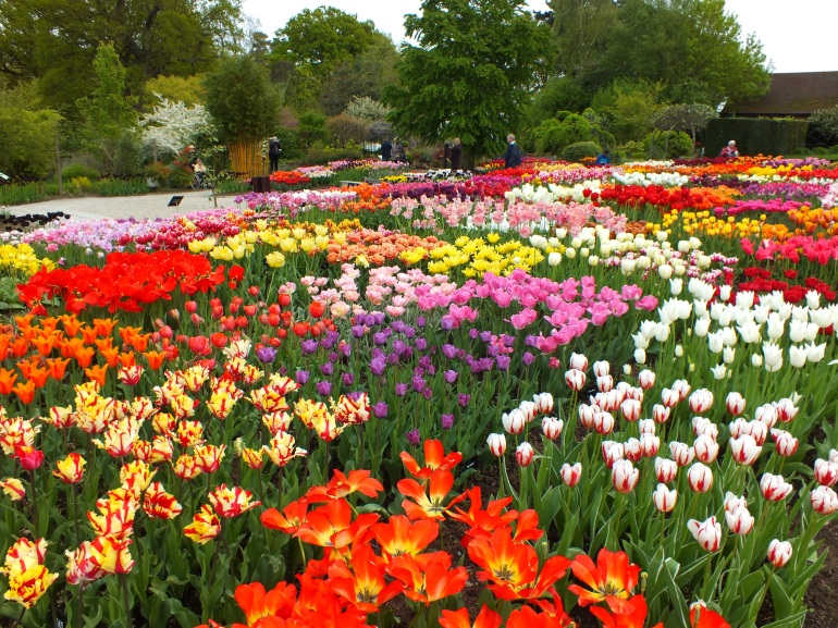 tulips wisley mixed