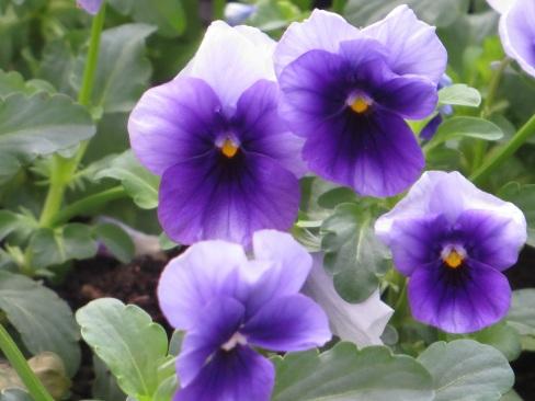 viola beaconsfield