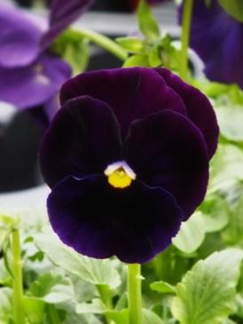 viola black
