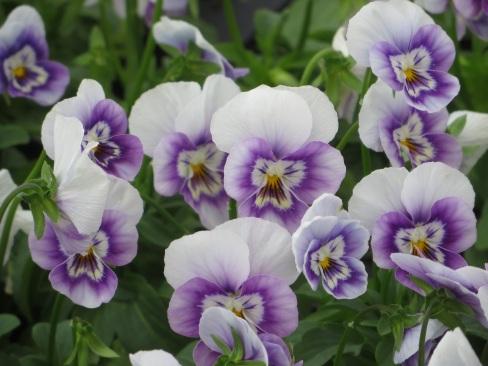viola cool lavender