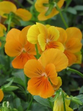 viola orange
