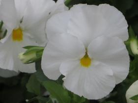 viola white