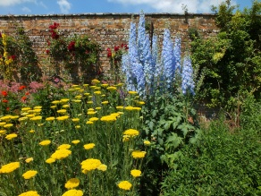 waterperry gardens blue yellow achillea