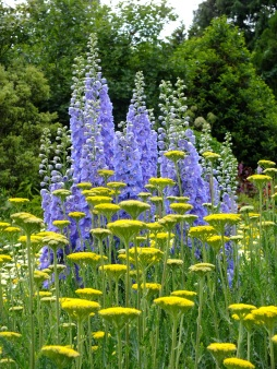 waterperry gardens delphinium achillea blue yellow
