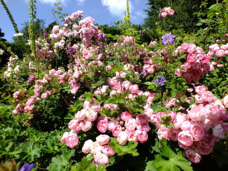 waterperry gardens roses raubrittter bonica pink