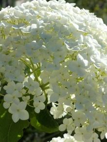 white hydrangea annabelle