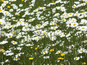 wildflower meadow daises