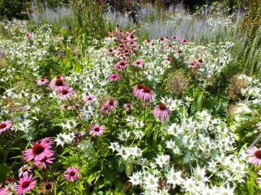 wisley silver eryingium pink echinacea bold