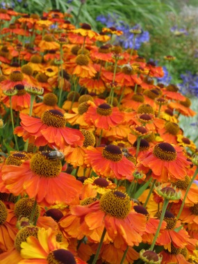 Heleniums Sahin's Early Flowerer