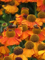 Helenium Sahins Early Flowerer