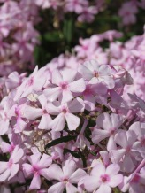 Phlox Discovery