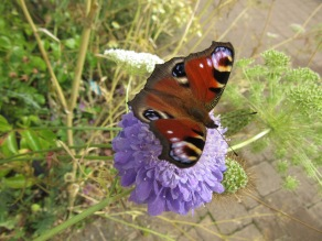 Peacock butterfly on Scabious