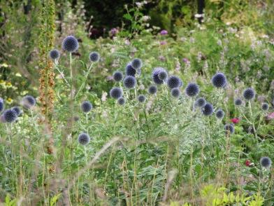 Echinops Taplow Blue