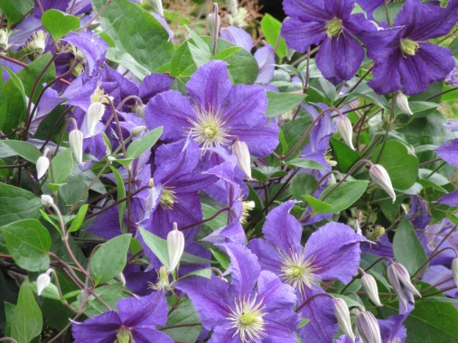 Clematis Wisley