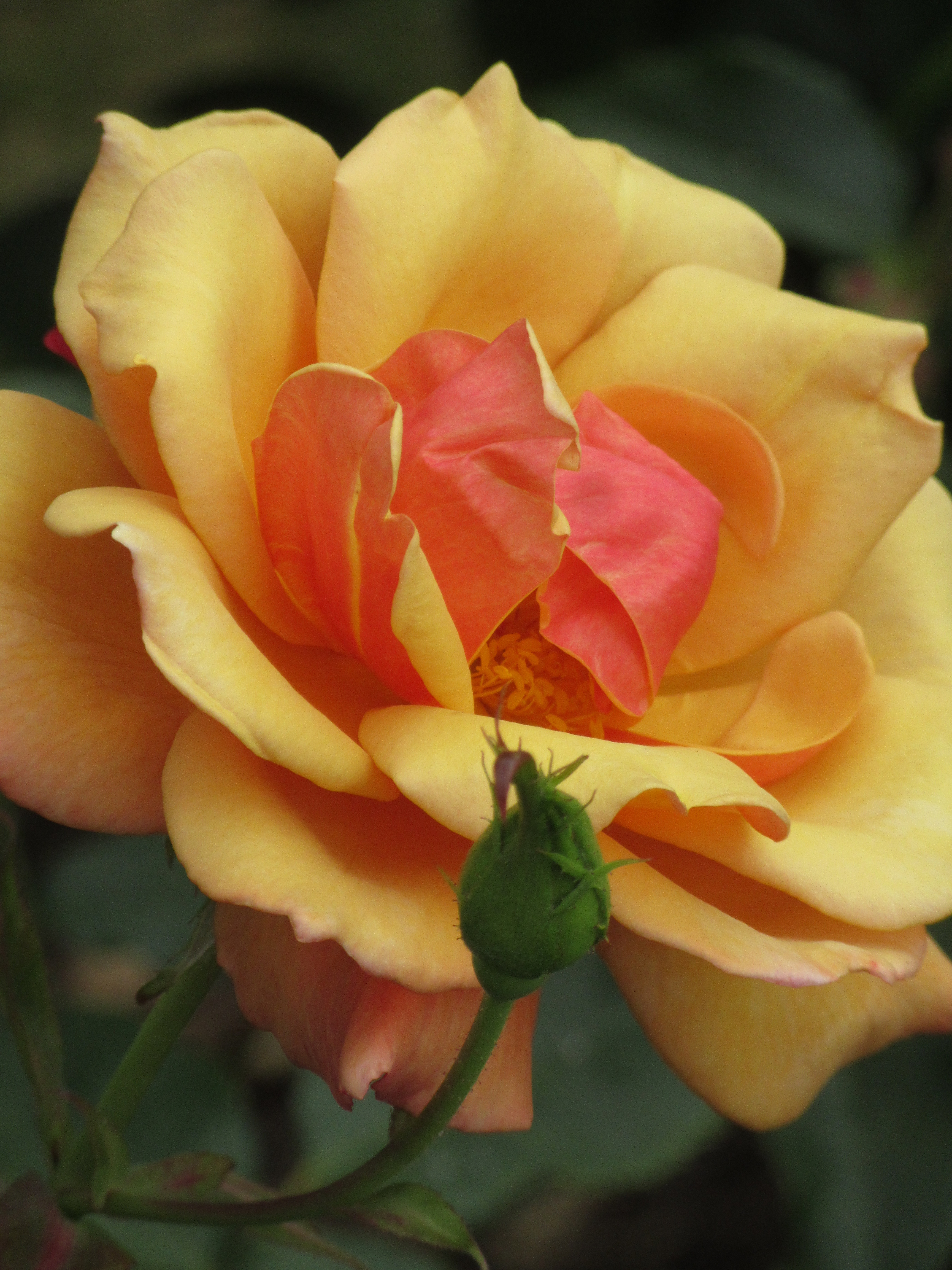Roses and what to put with them – two rose gardens at RHS