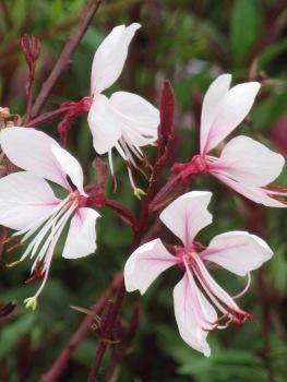 Gaura Gaudi Pink