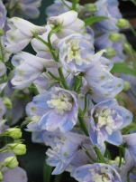 Delphinium Guardian Lavender