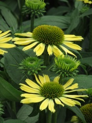 Echinacea Mooodz Shiny Yellow