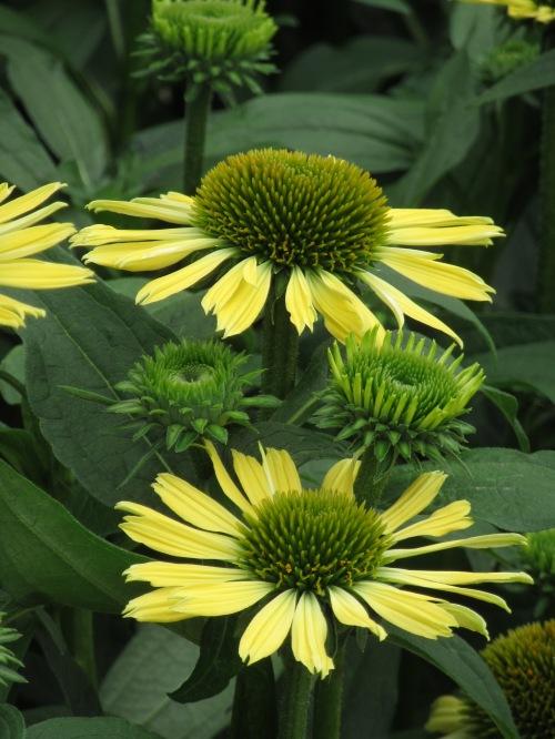 Echinacea Mooodz Shiny Yellow