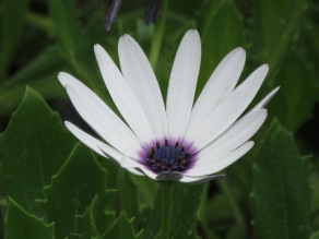 Osteospermum Helen Dimond