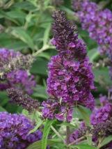 Buddleja Purple Chip
