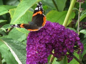 Buddleja with Red Admiral