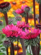 Echinacea purpurea Fatal Attraction