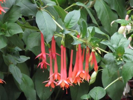 Fuchsia Anita de Keijzer