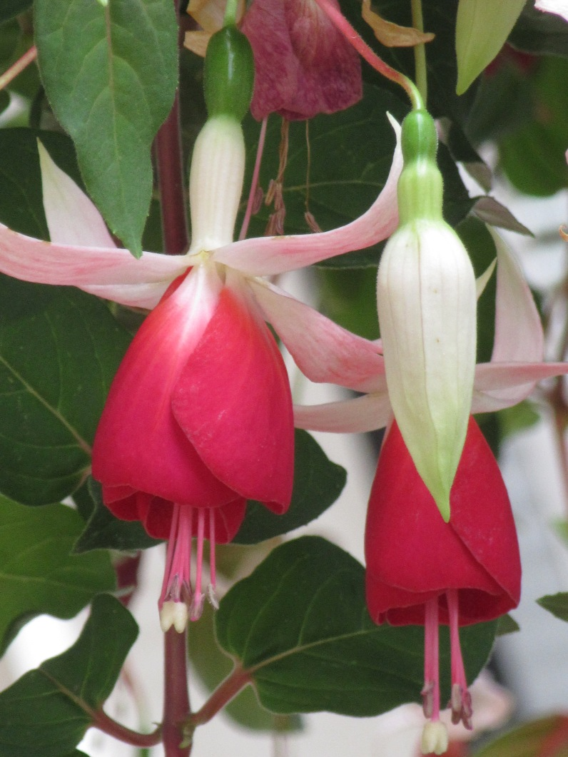 Fuchsia Frosted Flame
