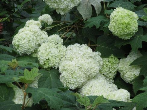 H. quercifolia Harmony