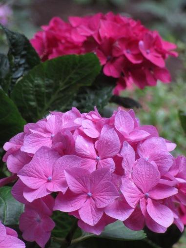 H. macrophylla Merveille Sanguine