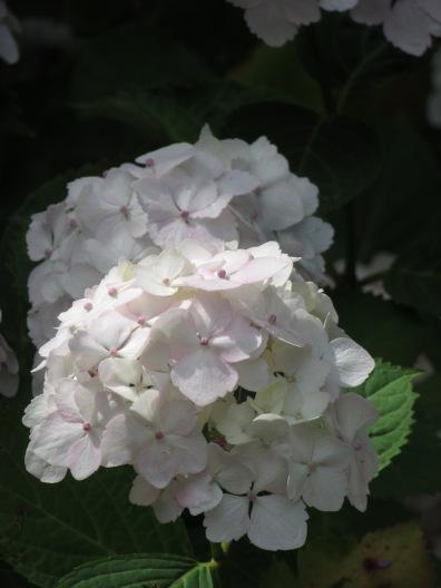 H. macrophylla Madame Emile Mouillere