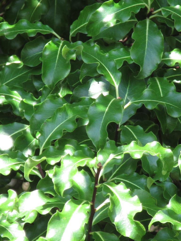 Pittospurorum tenuifolium Abbotsbury Gold