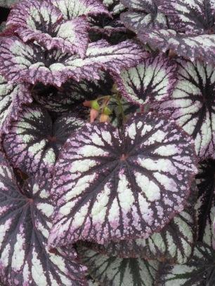 Begonia Fireworks