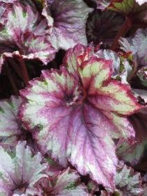 Begonia Raspberry Swirl