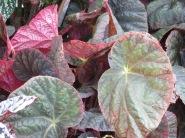 Begonia Orient