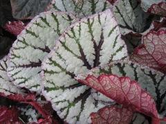 Begonia Fedor