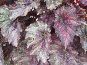 Begonia Madame Jules Moch