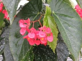 Begonia Comte de Lesseps