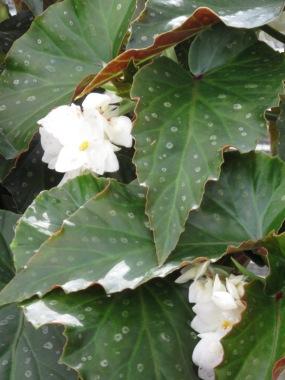 Begonia White Freckles