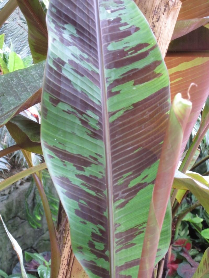 Musa acuminata Zebrina