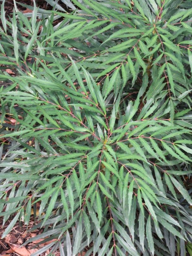 Mahonia eurybracteata Sweet Winter