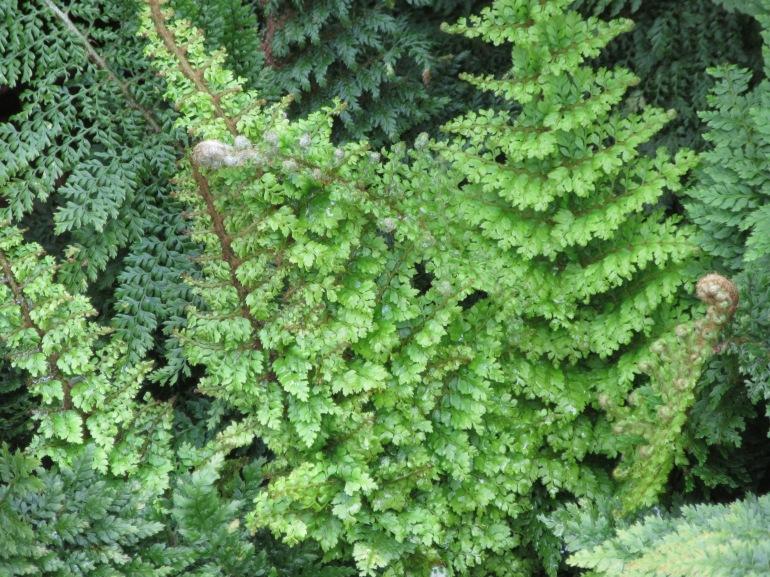 Polysticum setiferum Plumosomultilobum